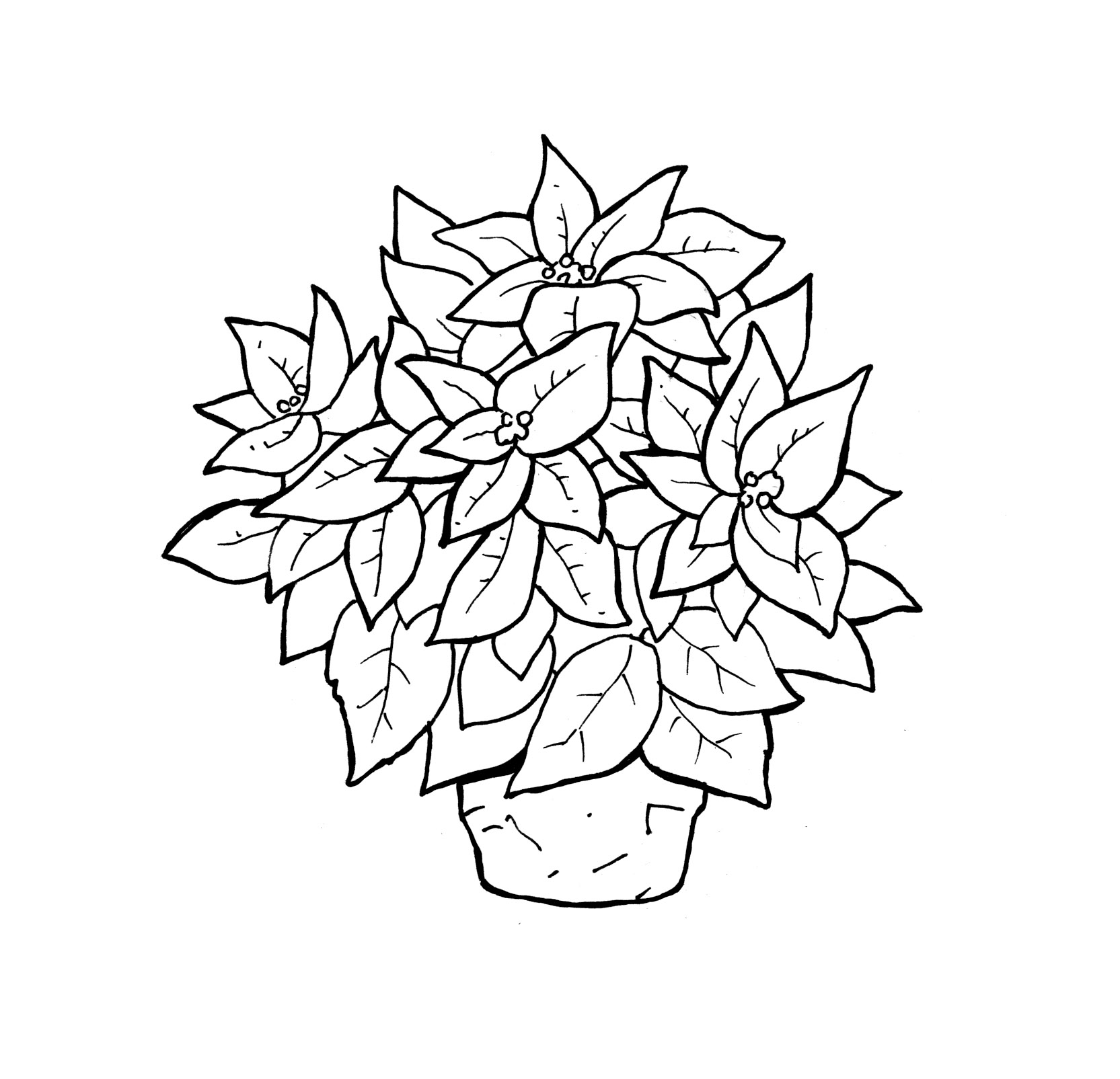 poinsetta coloring pages - photo#9