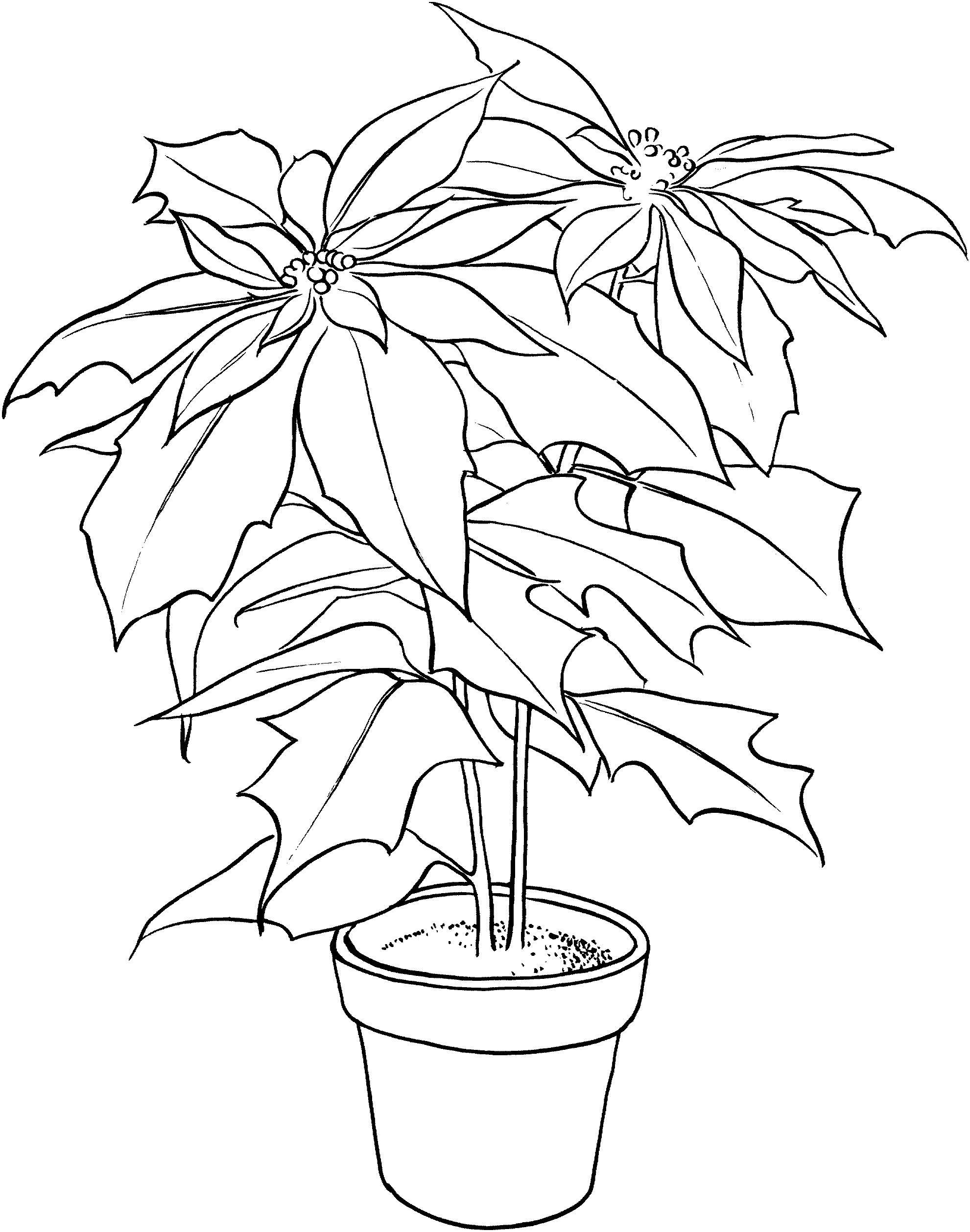 Free Printable Poinsettia Coloring
